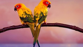 animals, parakeets, ��������, ��������