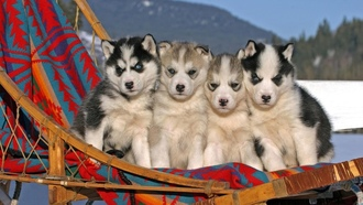 �����, �����, animals, ��������, puppies, husky