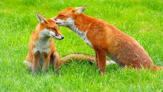 ��������, animals, ����, �������, red, foxes