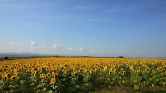 ����, landscapes, nature, �������, �������, sunflowers, ����������, fields
