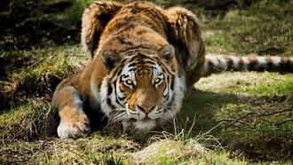 tigers, ��������, animals, �����