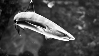 ������� �����, ������� ������, ����, grayscale, sealife, sharks