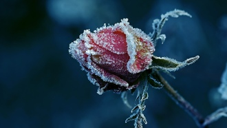 roses, �����, �����, flowers, frost, ����