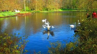 Holland, ���������, �������, swans