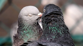 Pidgeon, love, funny, pidgeon, смешно, Любовь