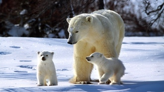 family, �����, animals, polar bears, ����� ��������, ��������