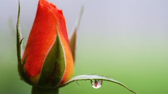 ����, roses, water droplets, ����� ����