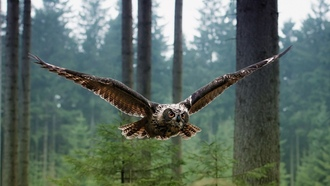 полет, совы, owls, крылья, flight, wings