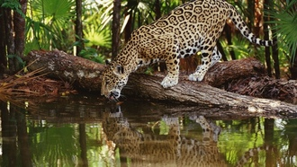 �����, African, palm leaves, leopards, lakes, ���������, ������, ��������, ��������� �������, jaguars, �����������, reflections