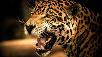 �����, �����, roar, cat, ���, ������, view, wild, �����, jaguar, predator