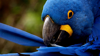 ������, �����, �������, blue feathers