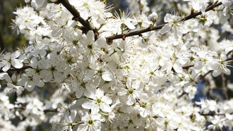 branches, nature, �����, flowers, �������, ������, �����, �����, tree, ��������, blossom, 2560x1600, cherrytree, petals, ��������