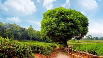 ���������, ����������, �������, ������, �������, tea plantation, sunshine day