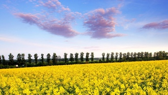 yellow field, ���, �����, ��������, �������, ������, ����, �������