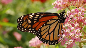 ������, �������, �����, ����, monarch, butterfly, �����