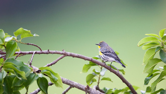 �����, ������, �����, yellow-rumped warbler (dendroica coronata)