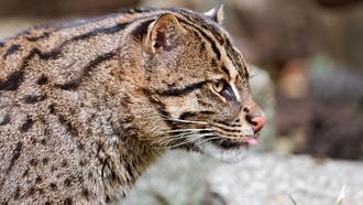����� �����, �����-�������, fishing cat
