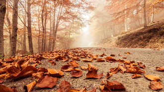 trees, nature, beech , forest, macro, landscape, foggy road , misty , deciduous leaves, autumn