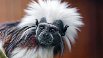 ��������, Cotton-top tamarin, ��������, ����