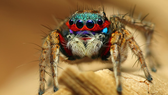 colorful jumping spider, паук, насекомое, макро