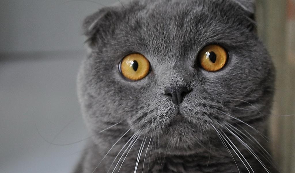 серый, взгляд, Кошак