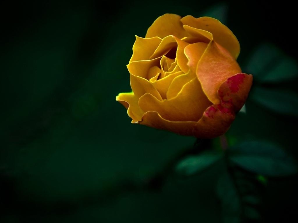 фото, Цветы, природа, роза, обои