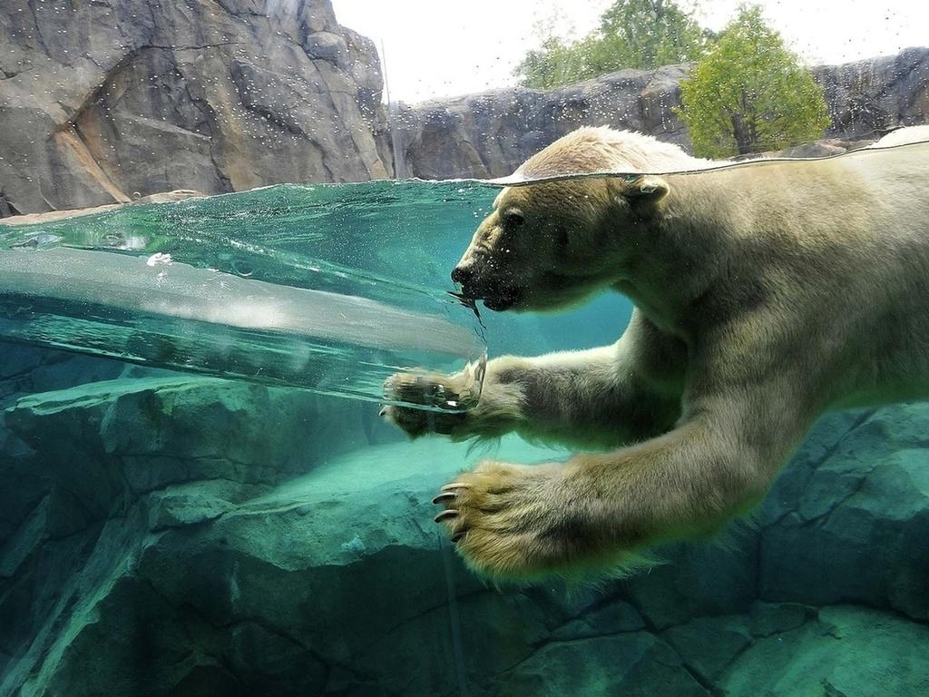 Скалы белый медведь вода ныряет лёд
