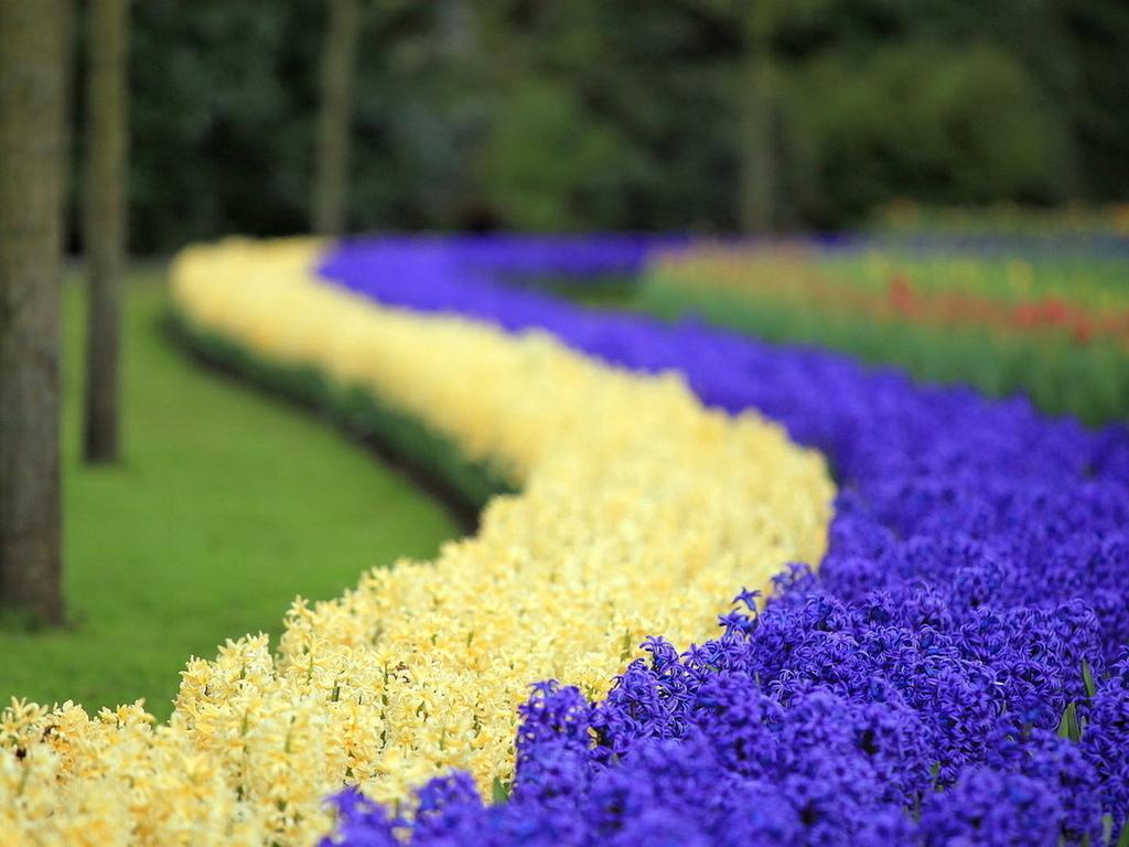 Картинки цветка гиацинт 1