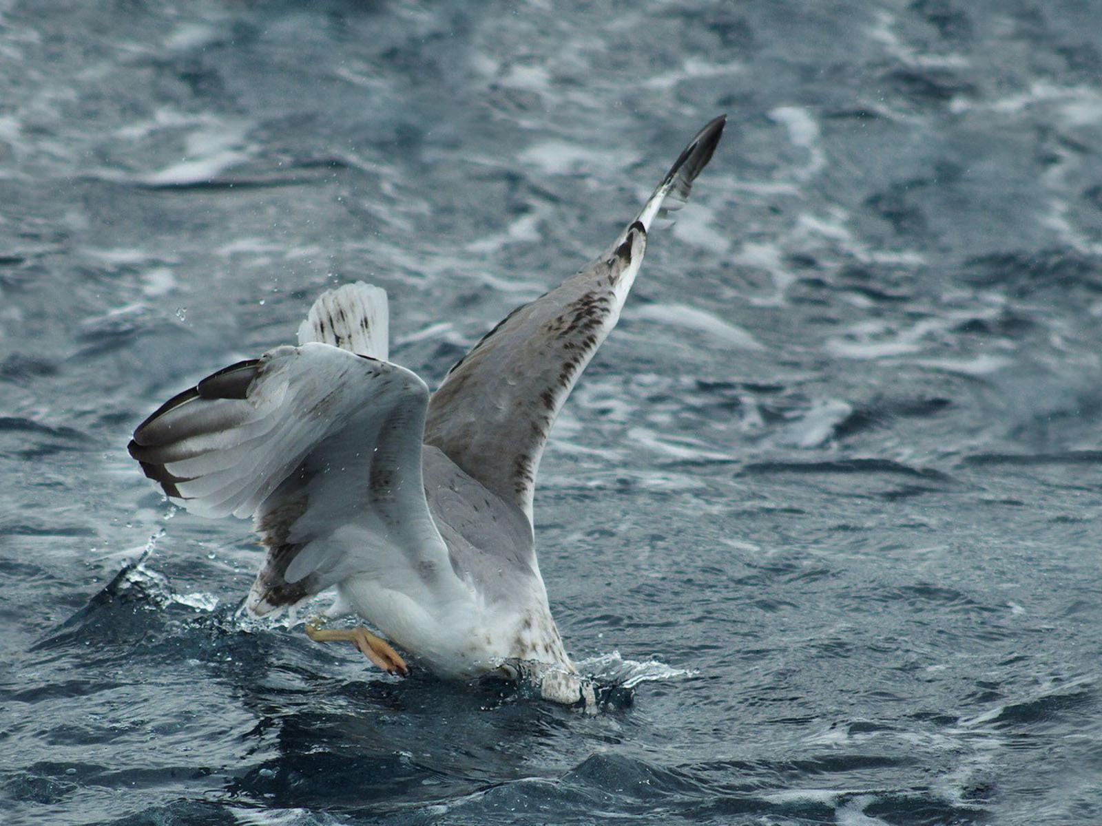 чайка на красноярском море
