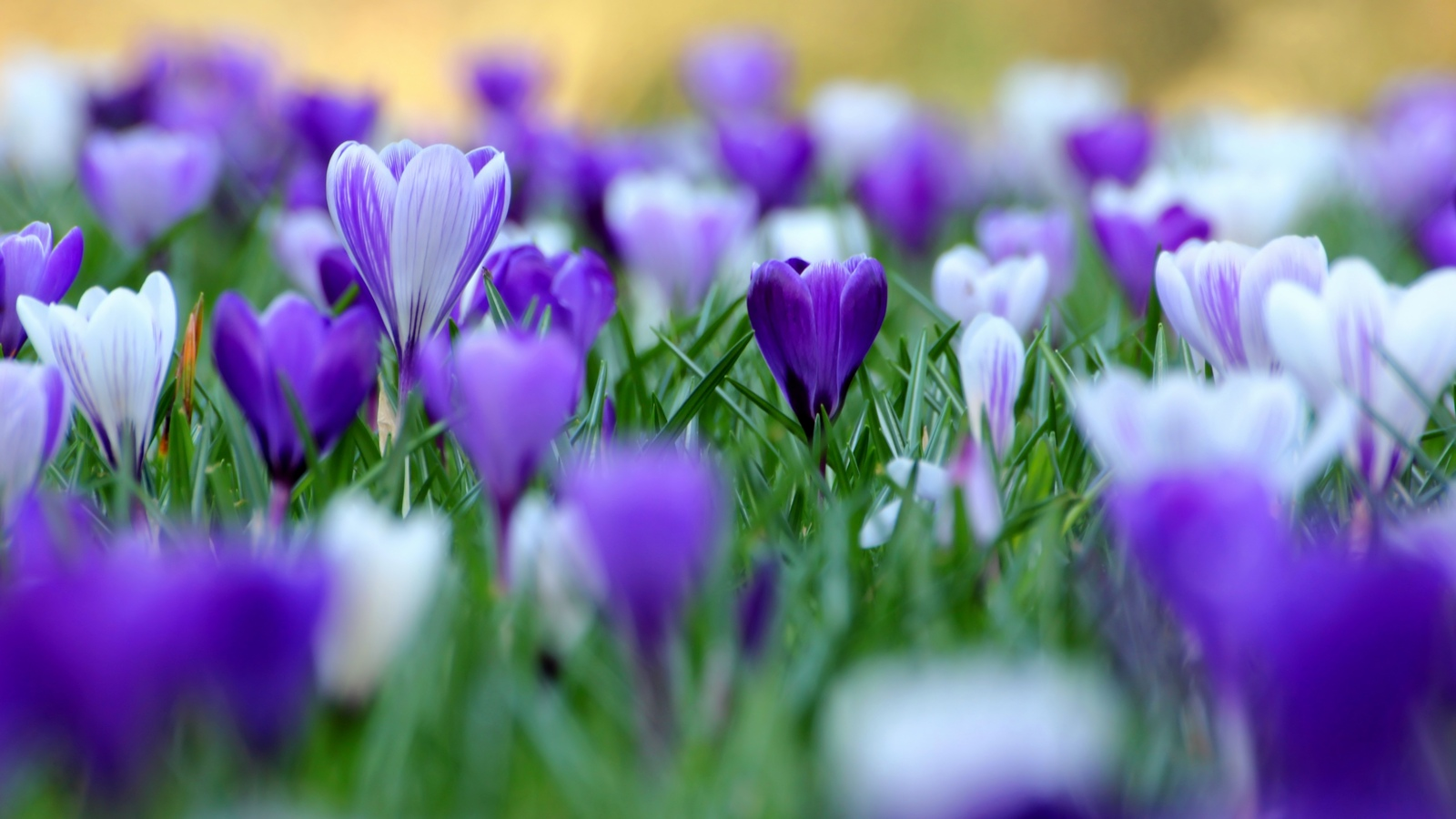 Весна цветы крокусы обои для