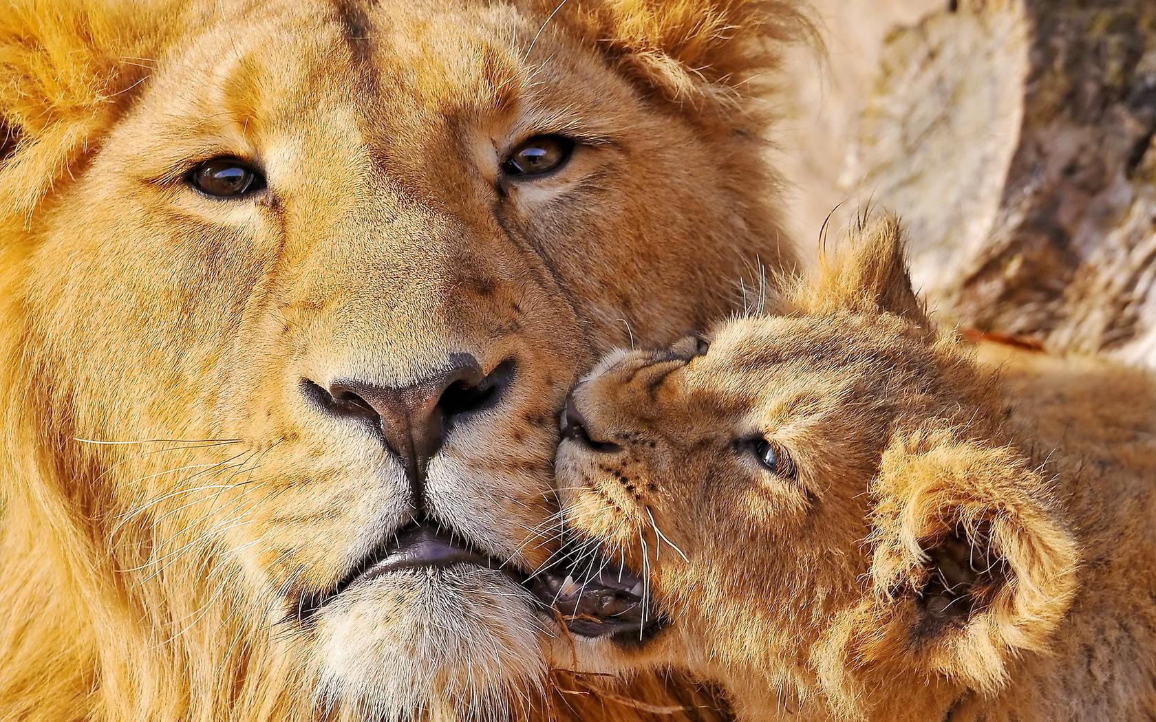 Скачать обои двое, львёнок, укус, Лев - картинка #21347 c разрешением 960x800