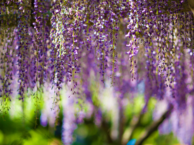 Рендеринг hd обои для рабочего стола. flowers, цветы, wisteria, bokeh, purple.