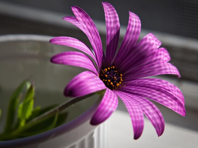 Пурпурный, макро, цветок