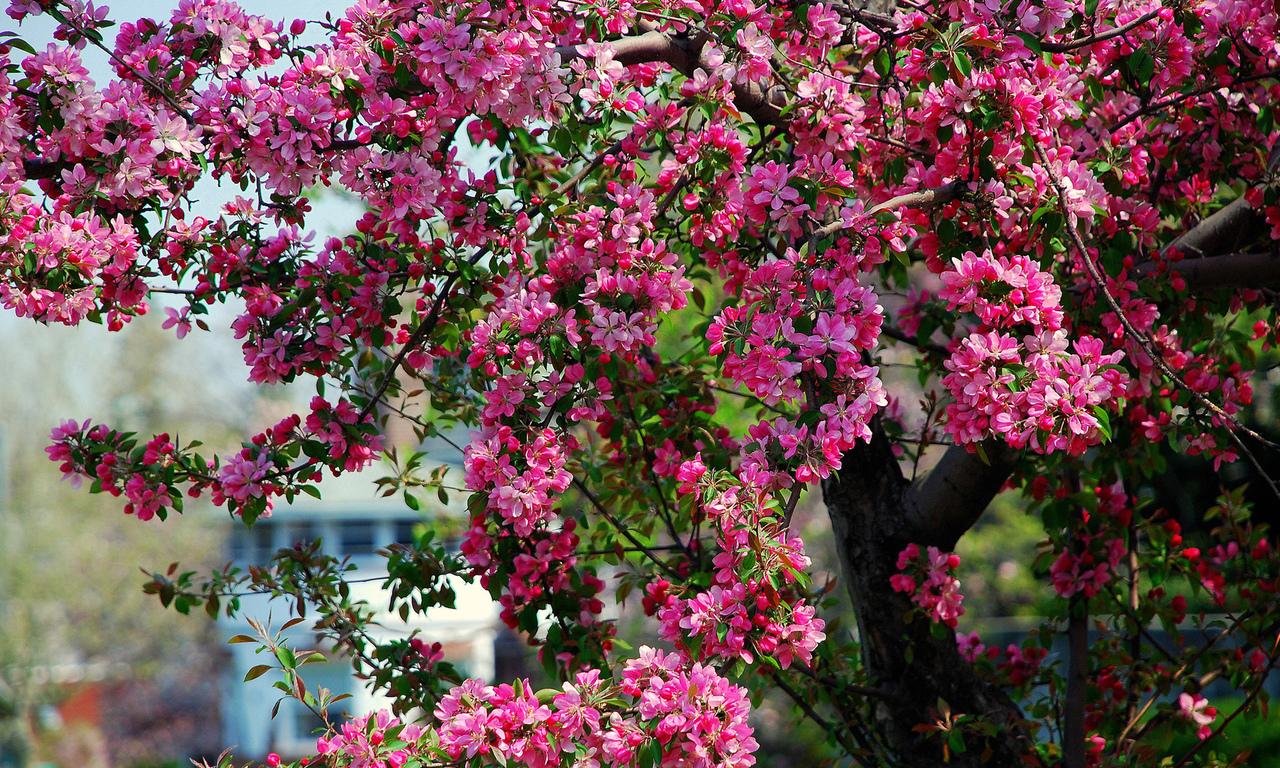 Цветение яблоня цветки дерево весна