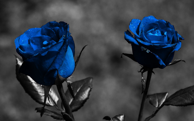 Фон синие серое цвет розы обои для