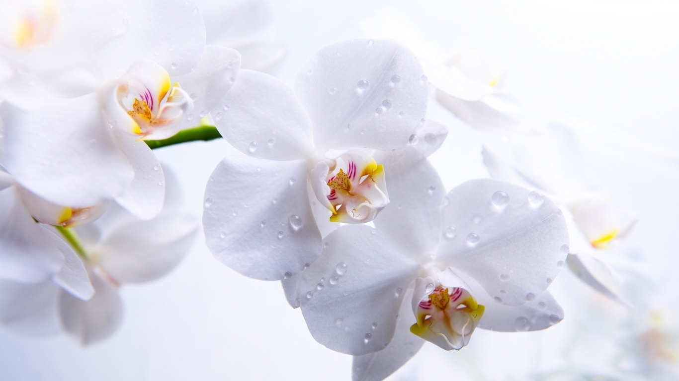 Цветы flowers orchids орхидеи обои для