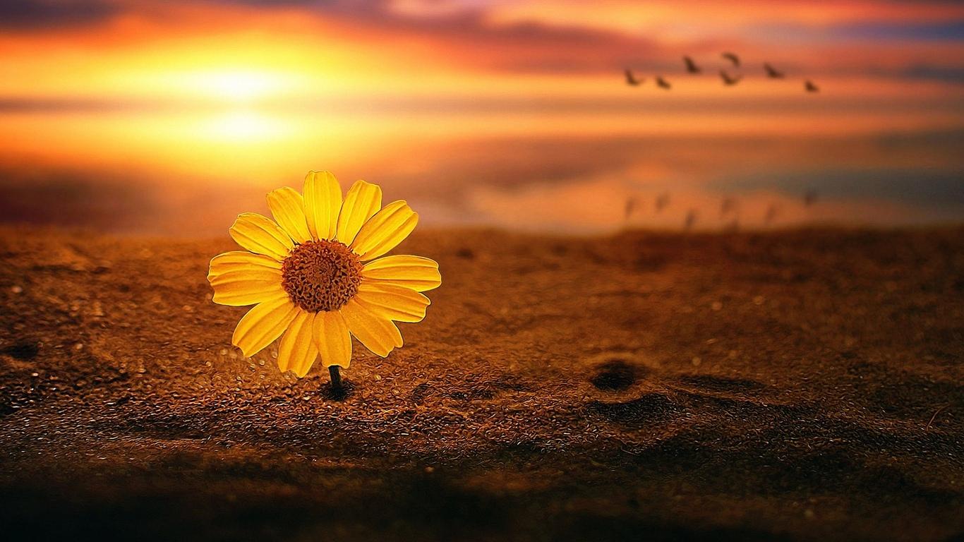цветок, маргаритки, в песке