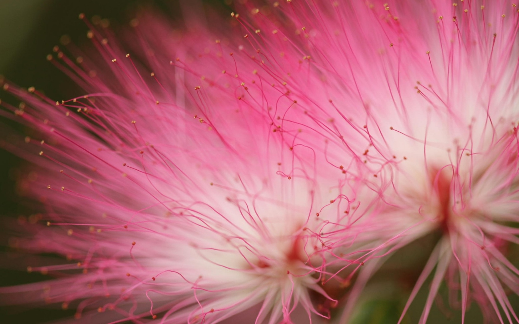 цветок, розовый, макро тема