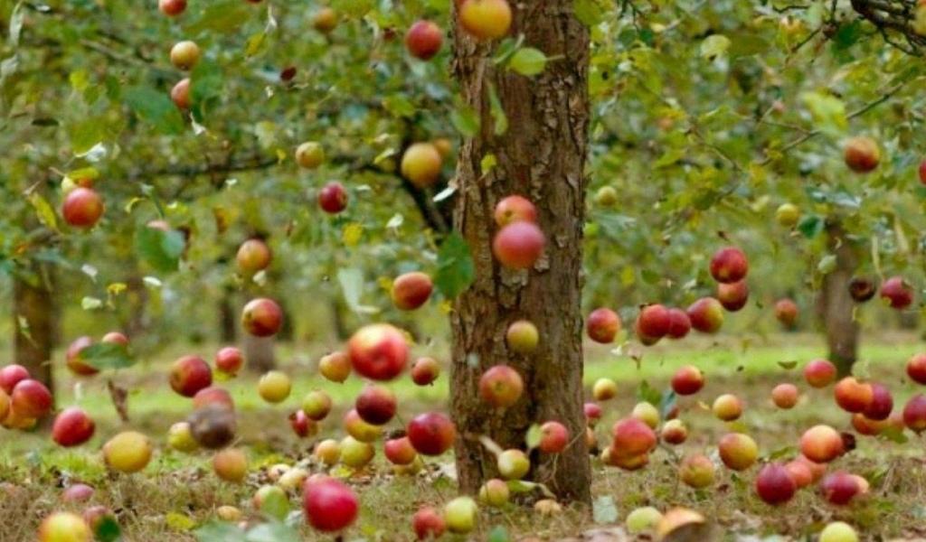 падающие, яблоки, в саду