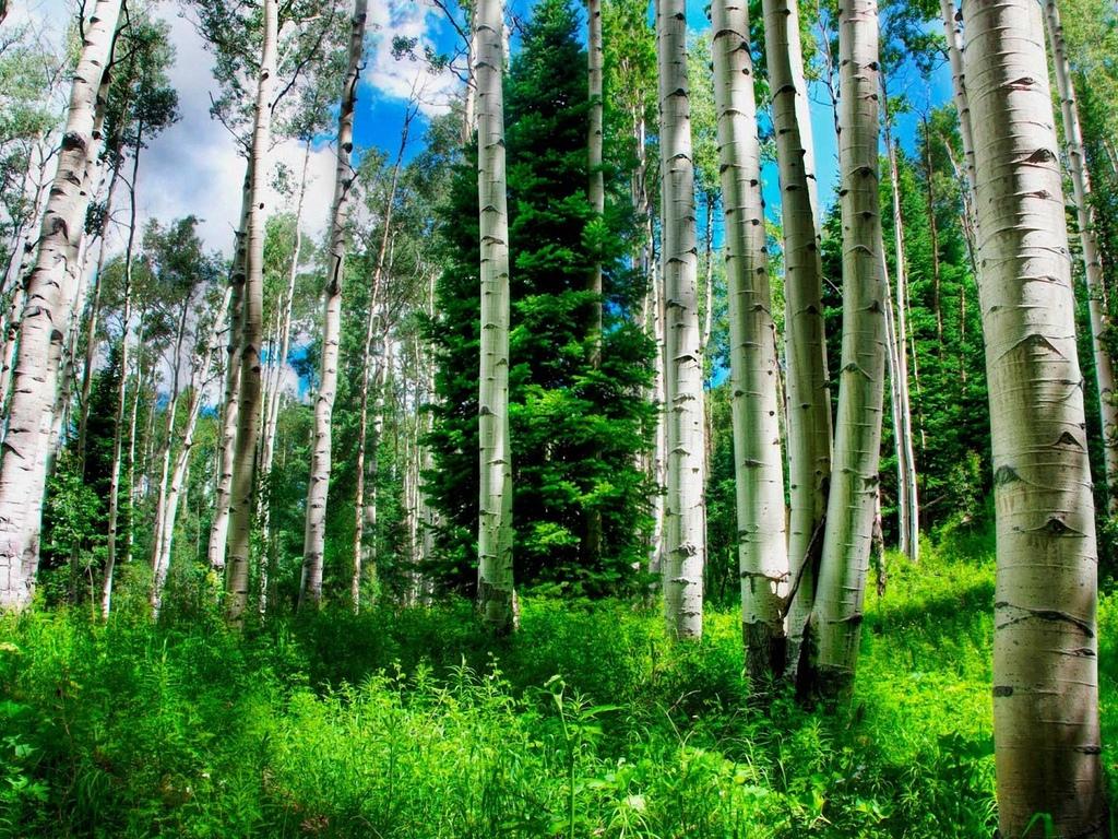 деревья, березовая, роща
