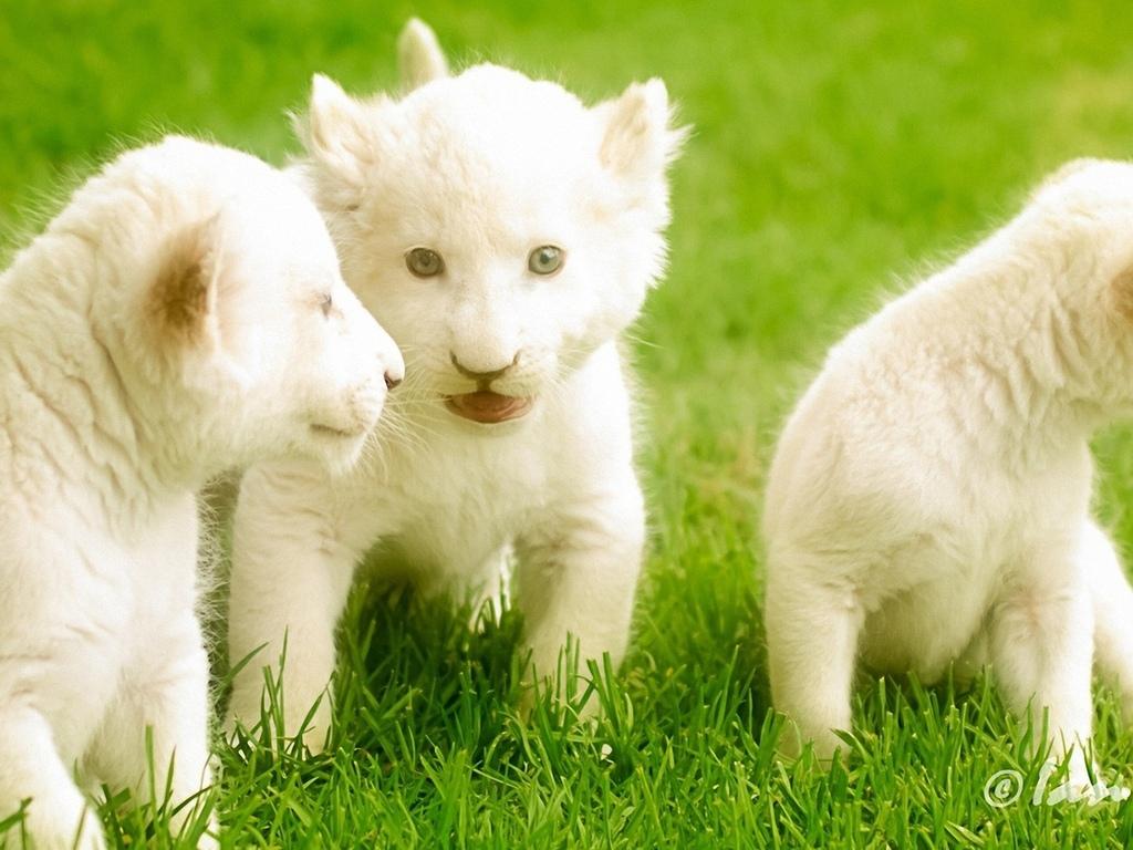 три, маленьких, львенка
