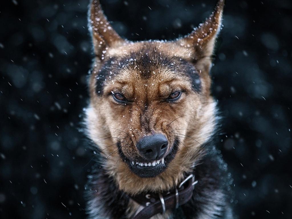 злая, собака, овчарка, оскал
