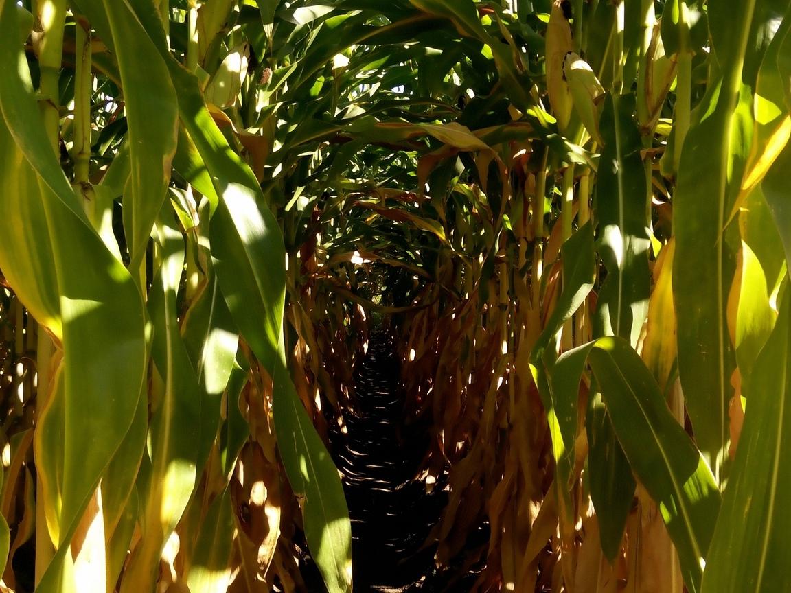 дорожка, поле, кукуруза