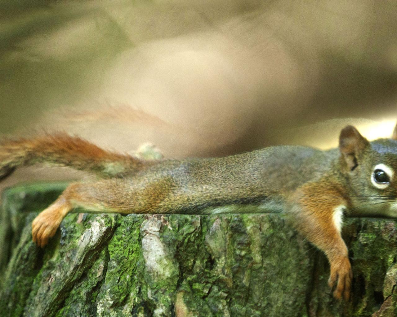 белка, лежит, на пне, проф фото