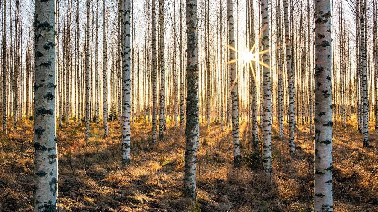 березовая, роща, солнце, осень