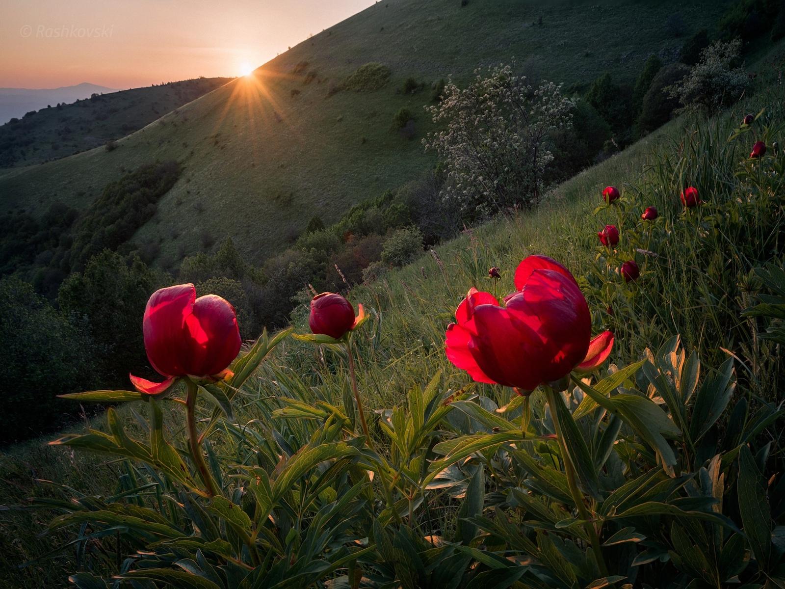 красные, цветы, рассвет, проф фото