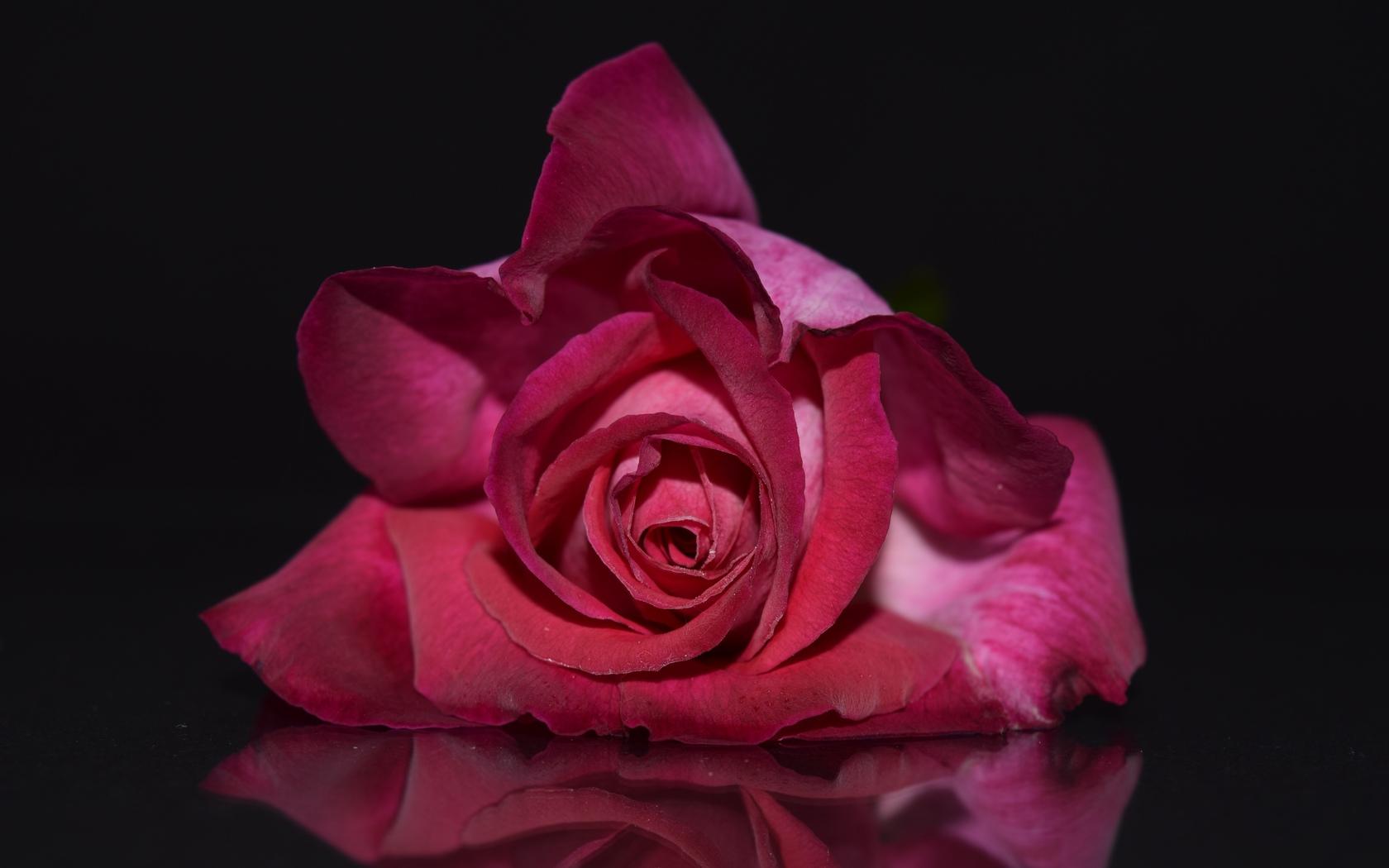 роза, бутон, лепестки, аромат, отражение, романтика, фон