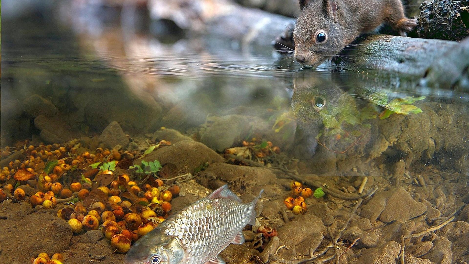 белка, пьет, из ручья, в котором, плавает, рыбка