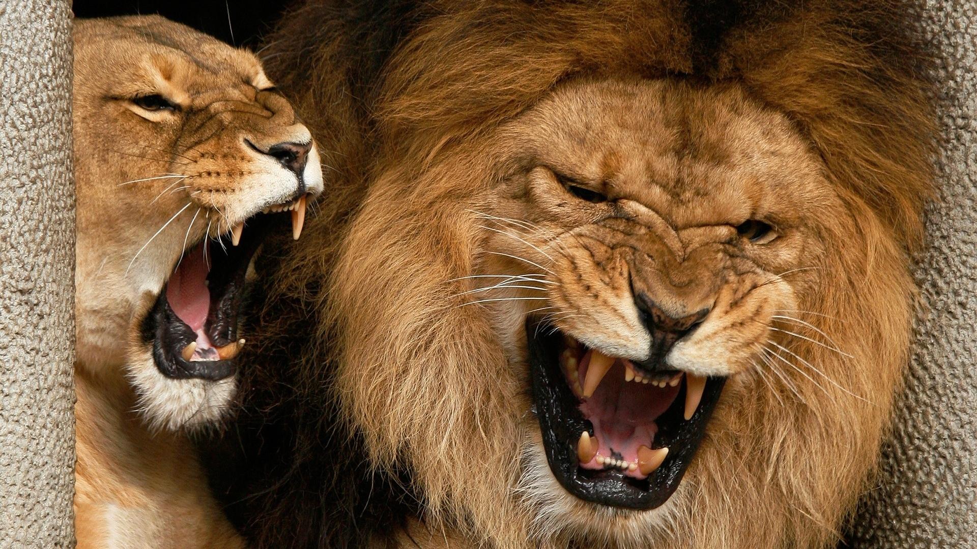 лев, хищник, царь зверей, львица