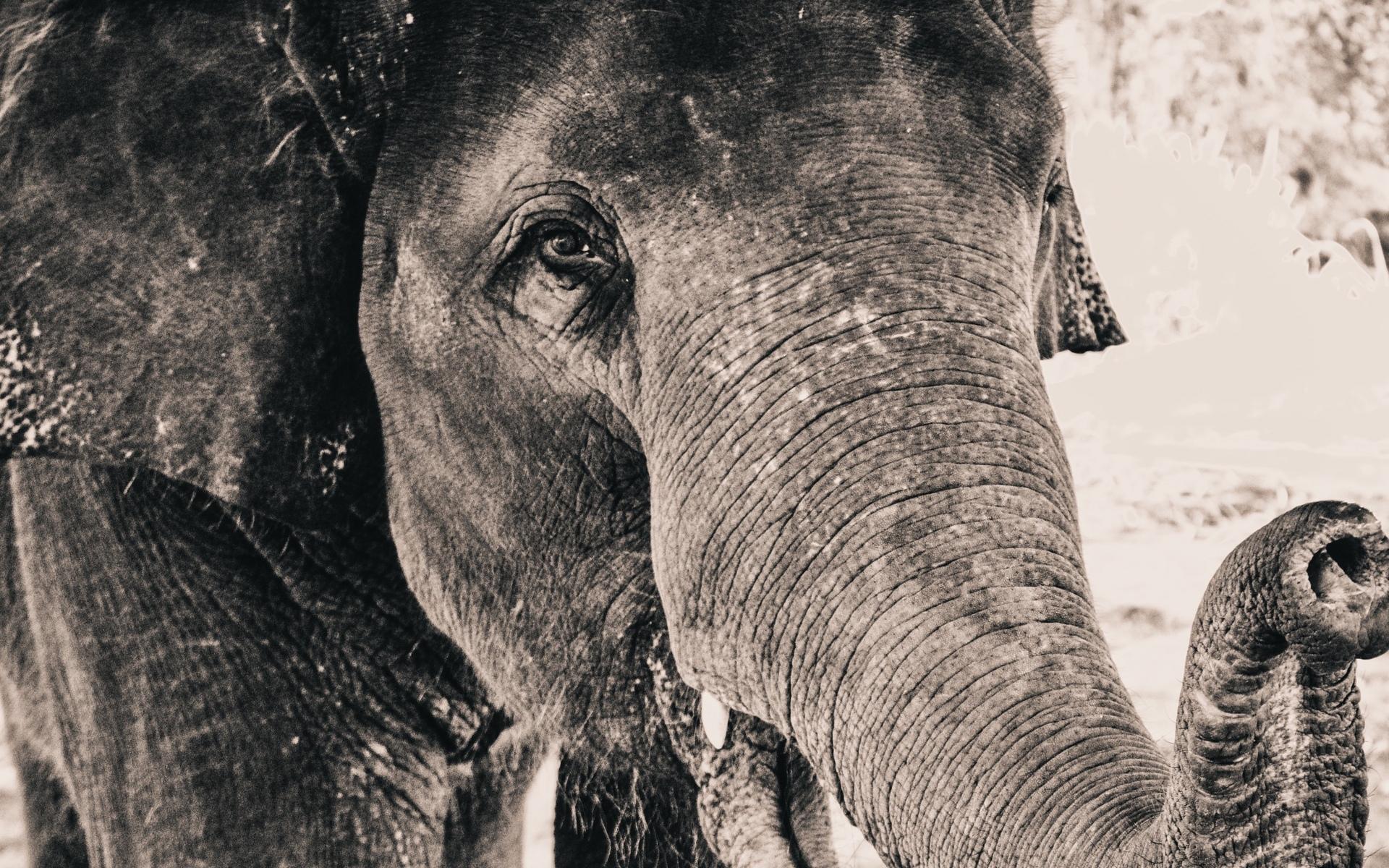 животное, слон, чб фото, макро